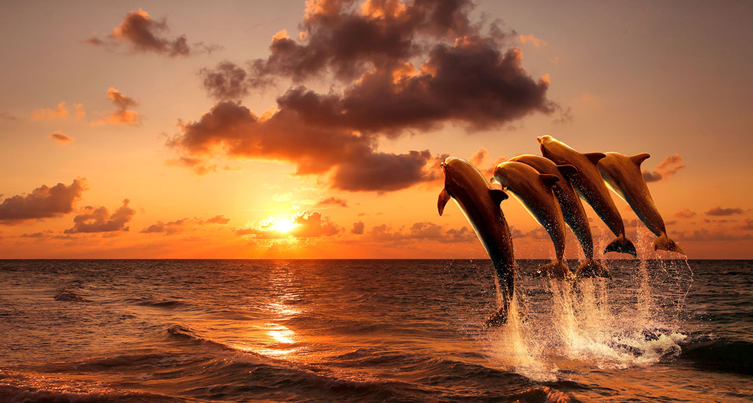 Dolphins Sunset 31389835 M