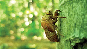 Covid Reflections Cicada 300