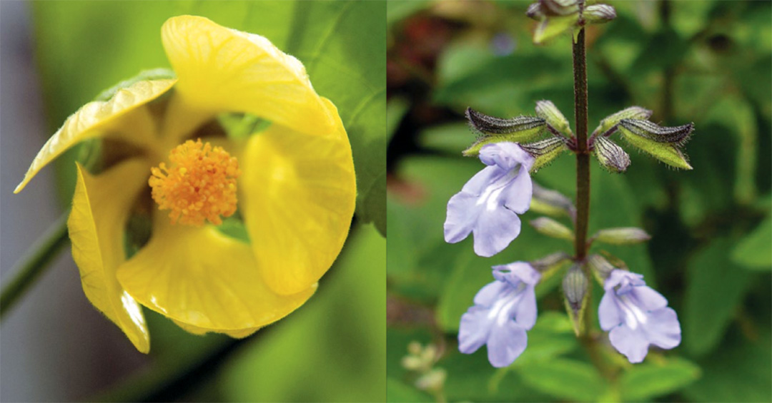 Pitcairn Islands Yellow Fatu And Cayman Sage Rbg Kew