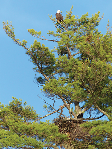 Pg 52 Nest Atop The Pine