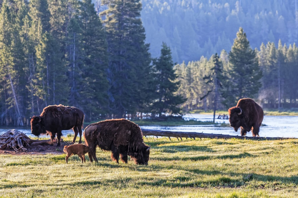 Genetically Pure American Bison Yellowstone National Park.
