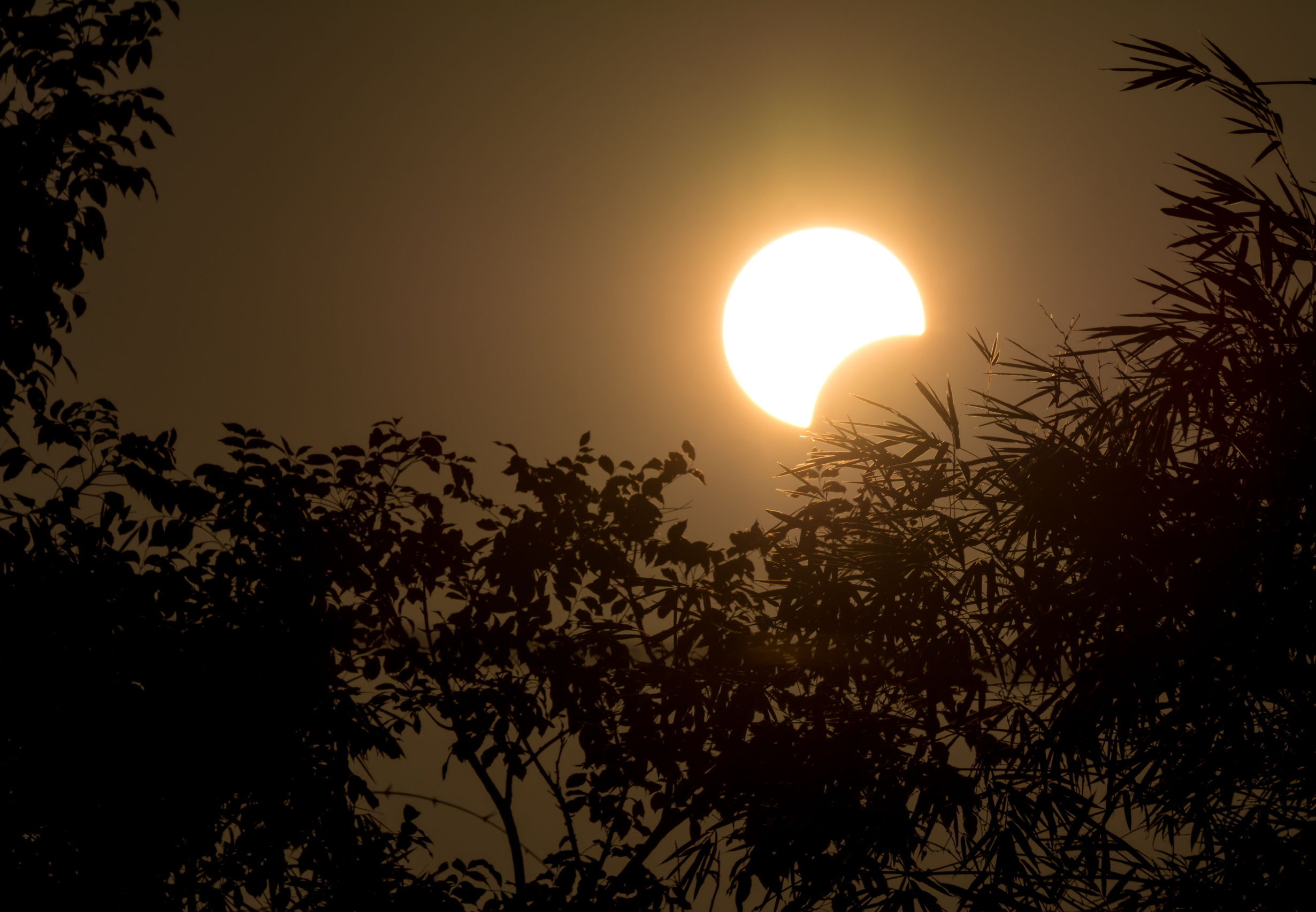 Solar Eclipse With Silhouette Tree
