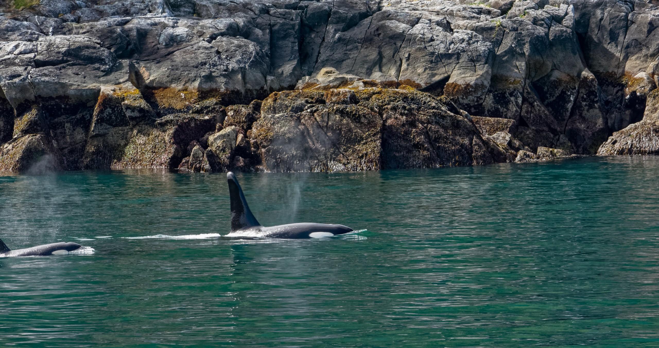Orca Mom And Kid Along Rocky Coast