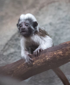 Cotton top tamarin babies get care from both parents. Eric Kilby, CC BY-SA